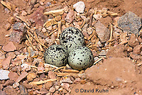 0510-1116  Killdeer Eggs in Ground Nest, Charadrius vociferus  © David Kuhn/Dwight Kuhn Photography