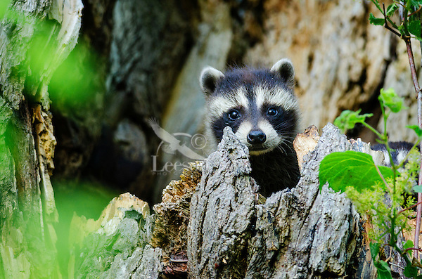 Baby Raccoon (Procyon lotor) kit peeks from tree cavity nest, spring, Great Lakes region, North America.