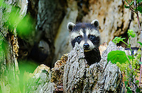 Baby Raccoon (Procyon lotor) kit peeks from tree cavity nest, spring, Great Lakes region, North America.