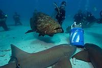 Divers play with and film Nurse sharks, Ginglymostoma cirratum, and a Goliath grouper, Epinephelus itajara, Molasses Reef, Key Largo, Florida, USA, Atlantic Ocean