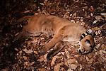 Mountain Lion (Puma concolor) sub-adult male resting under anesthesia after collaring, Santa Cruz Puma Project, Santa Cruz, Monterey Bay, California