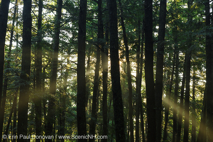 Softwood forest along Bearcamp River Trail in Sandwich, New Hampshire USA during the summer months.