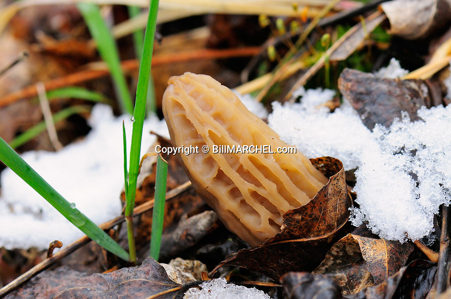 00791-004.11 Morel Mushroom has sprouted while remnants for recent snowfall remain.  Mushroom has just sprouted and thus is light in color.  Food, wild food, fungi.