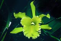Orchid: Rhyncolaeliocatttleya aka Brassolaeliocattleya Ports of Paradise 'Emerald Isle', FCC/AOS = Rhyncosophrocatttleya (Rhyncholaeliocattleya Fortune x Rhyncholaelia digbyana) 1970 hybrid, very fragrant orchid