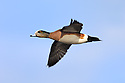 00318-006.15 American Wigeon Duck (DIGITAL) drake in flight against a blue sky.  Fly, action, baldpate, hunt, waterfowl, wetlands.  H6L1
