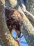 An eagle feeds on a goose or duck while sitting in a tree.
