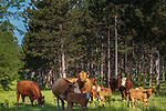 Cattle grazing next to a pine plantation in northern Wisconsin.