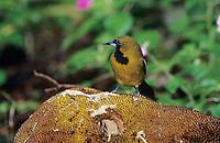 Jamaican Oriole, Icterus leucopteryx,adult eating starfruit, Blue Mountains, Jamaica, January 2005