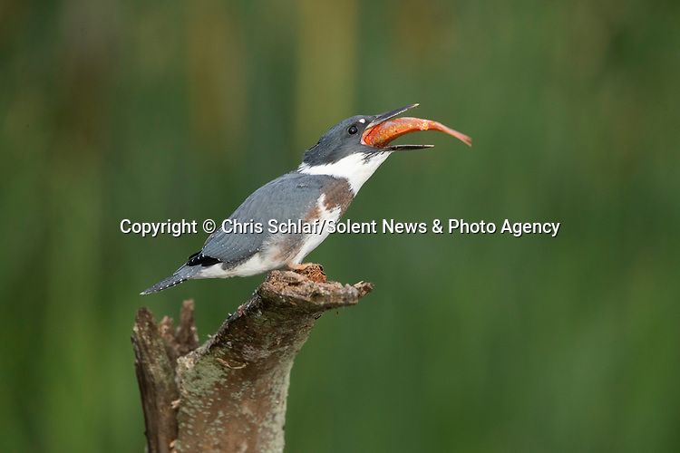 SEQUENCE 6 of 10.<br /> <br /> A young kingfisher swallows a large goldfish whole despite its prey being almost as large as it is.  The impressive meal was brought to the youngster by one of its parents as it sat on the branch of a dead tree.<br /> <br /> These photographs were taken by Chris Schlaf, at a lake in the garden of his home in the village of Romeo, Michigan, in the United States.  SEE OUR COPY FOR DETAILS.<br /> <br /> Please byline: Chris Schlaf/Solent News<br /> <br /> © Chris Schlaf/Solent News & Photo Agency<br /> UK +44 (0) 2380 458800
