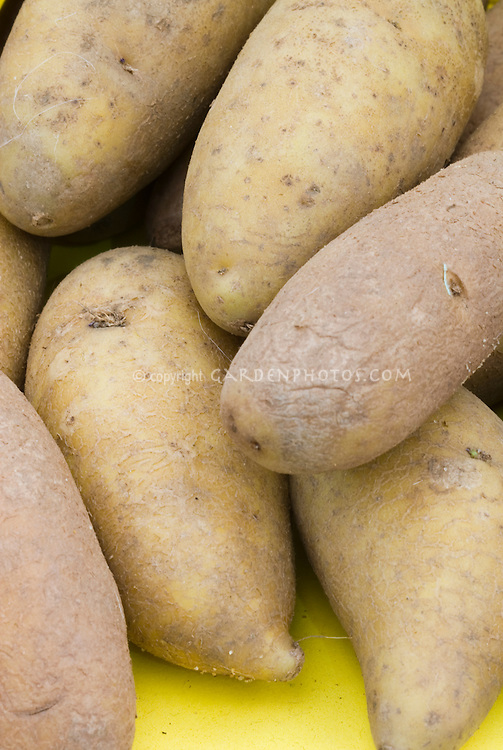 Potatoes, modern Solanum phureja type