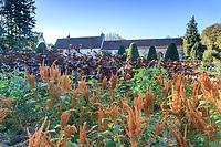 France, Indre-et-Loire (37), Chenonceaux, château et jardins de Chenonceau, le potager, amaranthes élégantes cv?? 'Chinese Giant Orange'??? (Amaranthus hypochondriacus)