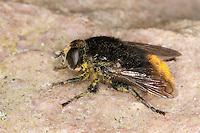 Gemeine Narzissenschwebfliege, Narzissen-Schwebfliege, Schwebfliege, Merodon equestris, Narcissus bulb fly, greater bulb fly, large bulb fly, large Narcissus fly