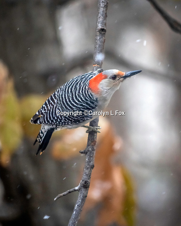A woodpecker hangs on a limb waiting for a turn at the bird feeder.