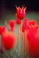Red Tulips in bloom, Spring Flowers blooming in Flower Garden - Standing Out above the Crowd Concept