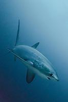 Pelagic Thresher Shark, Alopias pelagicus, Monad Shoal, Malapascua, Cebu, Philippines, Visayan Sea.