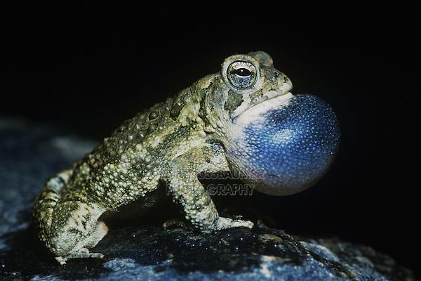 Fowler's Toad (Bufo woodhousii fowleri), male at night calling, Raleigh, Wake County, North Carolina, USA
