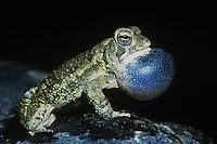 Fowler's Toad (Bufo woodhousii fowleri), male at night calling, Raleigh, Wake County, North Carolina, USA