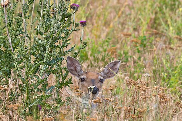 White-tailed Deer doe (Odocoileus virginianus).  Western U.S., summer.