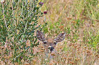 White-tailed Deer doe (Odocoileus virginianus).  Western U.S., summer.