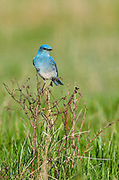 Male Mountain Bluebird preched on some brush in a field