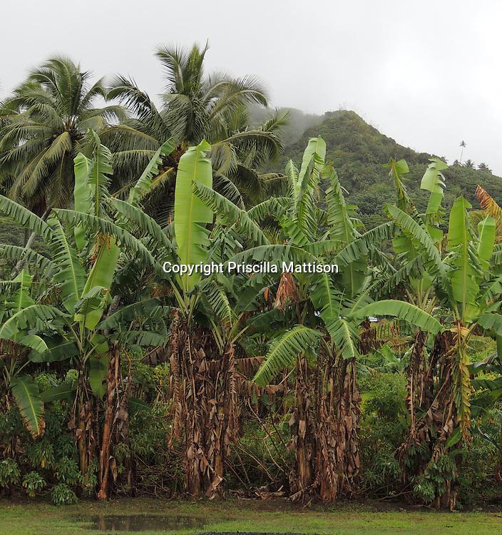 Rarotonga, Cook Islands - September 22, 2012:  Palm trees after a downpour.