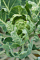 Foliage of Brussels sprouts plants eaten by cabbage caterpillars, late September.