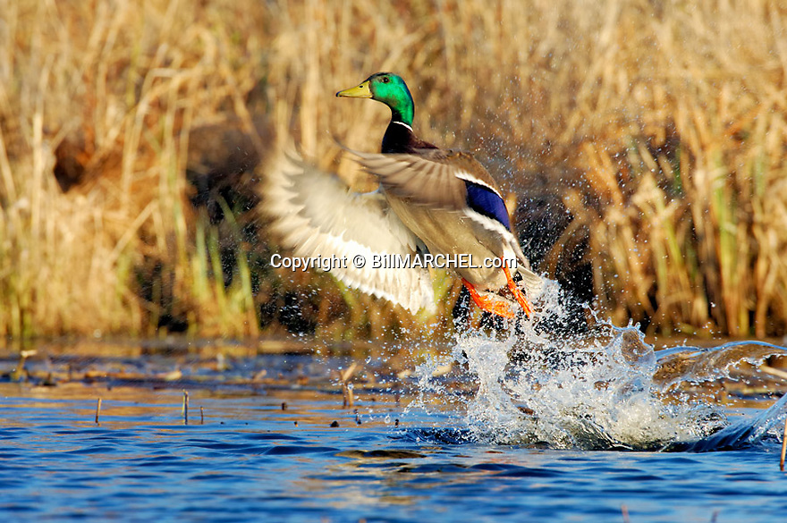00330-065.05 Mallard Duck (Digital) drake is taking flight from marsh typical of species.  Drama, action, color, wetlands, water.  H4L1