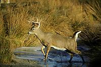 White-tailed deer buck crossing small stream in late fall.  Western U.S.