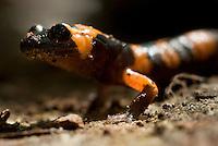 Large Blotched Ensatina.Ensatina eschscholtzii klauberi..Small, rare salamander.