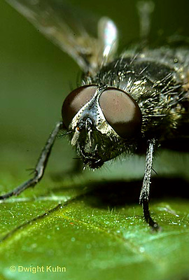 1H10-013z  House Fly -  eyes on adult - Musca domestica