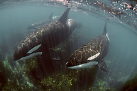 wild orcas or killer whales, Orcinus orca, passing over shallow rocky reef, Northland, New Zealand, South Pacific Ocean