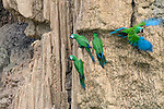 Gathering of Red-bellied Macaws (Orthoptera manilata) feeding at the wall of a clay lick. Heath River, Tambopata / Bahuaja-Sonene Reserves, Amazonia, Peru / Bolivia border.