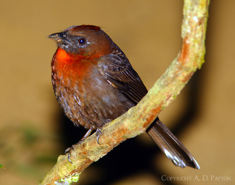Male red-throated ant-tanager