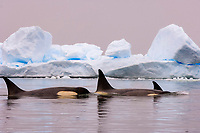 killer whales , orca , Orcinus orca, and iceberg, pod traveling in waters off the western Antarctic Peninsula, Antarctica, Southern Ocean