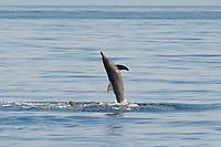 Rough-toothed Dolphin, Steno bredanensis, breaching, Costa Rica, Pacific Ocean