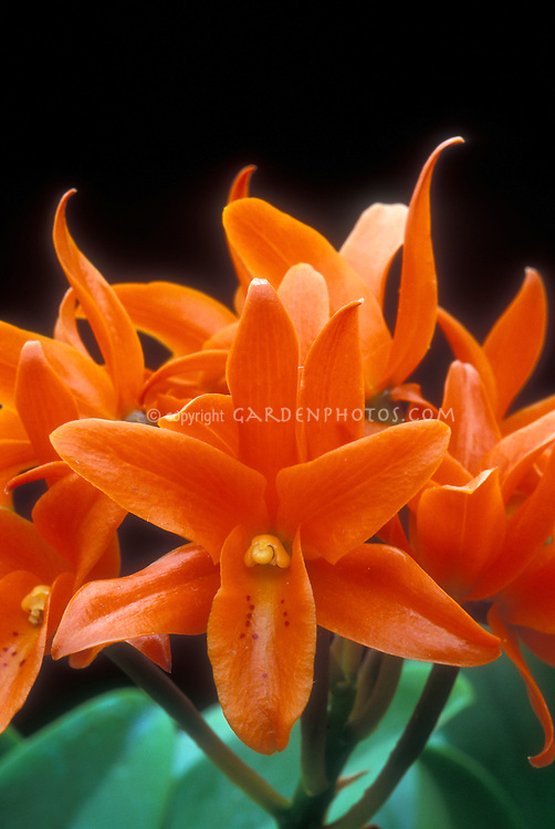 Orchid Cattleya aurantiaca orange flowers of species
