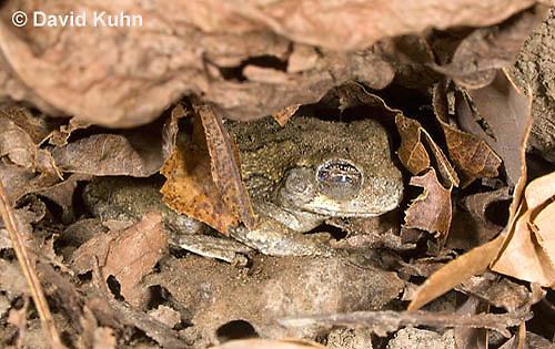 1025-0904  Torpid Eastern Gray Treefrog (Grey Tree Frog), Hibernating Under Leaf Litter on Forest Floor, Hyla versicolor  © David Kuhn/Dwight Kuhn Photography