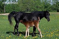 SH08-003z  Arabian Horse - mare with nursing foal