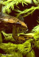 WS07-002z   Giant Waterbug waiting to ambush prey  - Belostoma flumineum