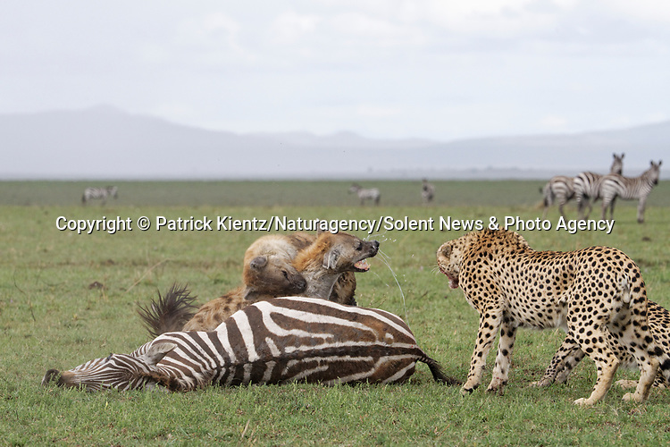NOTE FOR ONLINE:  MAXIMUM OF 10 IMAGES TO BE USED FROM SET - UNLESS OTHERWISE AGREED.<br /> <br /> Sequence 14 of 16:  Cheetahs are forced to sit and watch hyenas eat their hard-fought kill after they arrived late and claimed it for their own.  The unlucky coalition of five cheetahs spent 30 minutes hunting and killing the zebra at the Masai Mara National Reserve, Kenya.<br /> <br /> But, just as the group of siblings were about to eat their prey, opportunistic hyenas arrived and claimed the carcass as their own. SEE OUR COPY FOR DETAILS.<br /> <br /> Please byline: Patrick Kientz/Naturagency/Solent News<br /> <br /> © Patrick Kientz/Naturagency/Solent News & Photo Agency<br /> UK +44 (0) 2380 458800