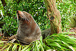 New Zealand Fur Seal (Arctocephalus forsteri) bull sunbathing on shore, Kaikoura, South Island, New Zealand