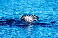 fluke of narwhal, Monodon monoceros, Baffin Island, Nunavut, Canada, Canadian Arctic