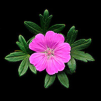 Geranium - 'geranium sanguineum'