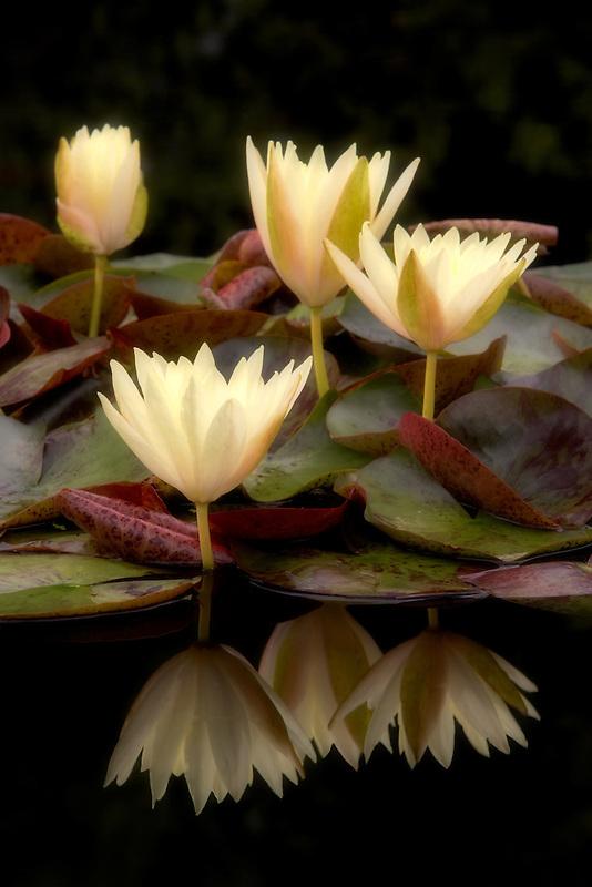Water Lily - (Sulphurea). Hughes Water Gardens. Oregon