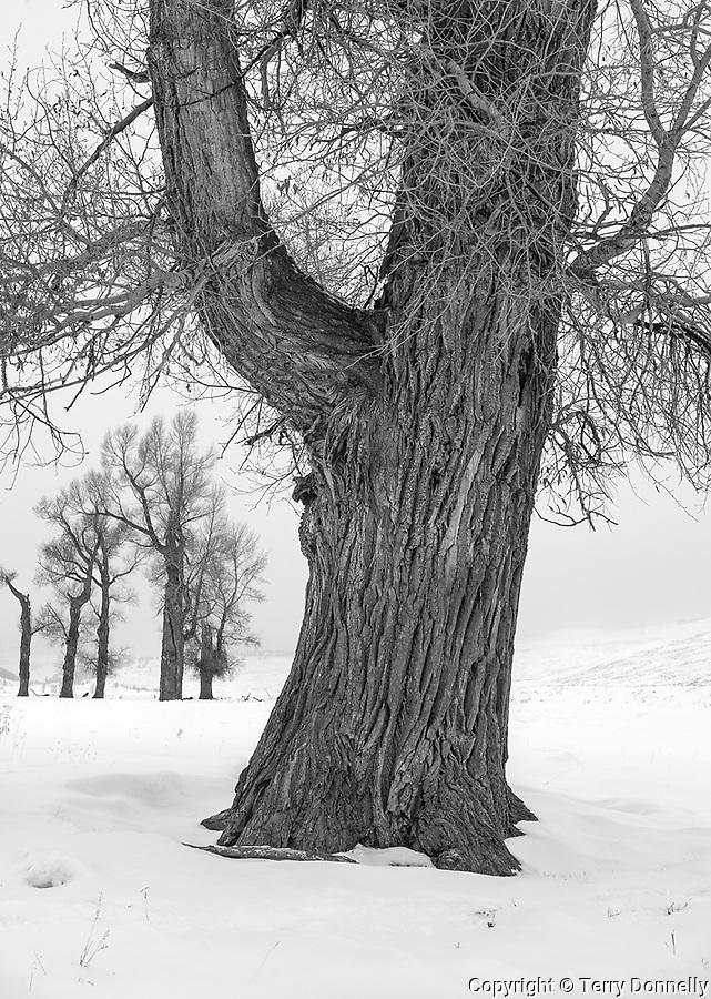 Yellowstone National Park, Wyoming: Winter cottonwood trees, Lamar Valley