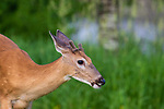 White-tailed buck in northern Wisconsin.