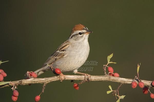 Chipping Sparrow, Spizella passerina, adult on Agarita (Berberis trifoliolata), Uvalde County, Hill Country, Texas, USA