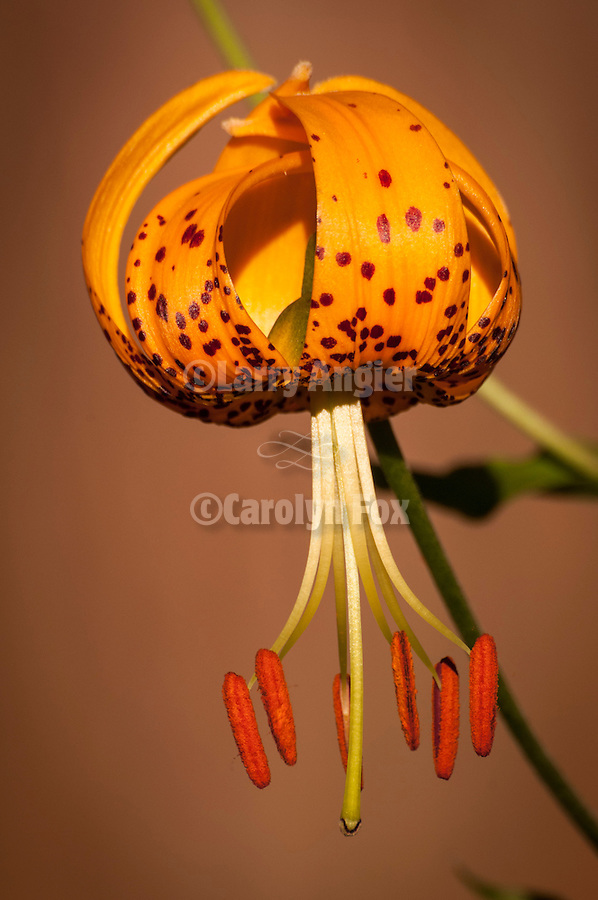 Tiger lilies (Humvolsr lilies) in the Pine Grove Cemetery, Calif...(Lilium humboldtii)