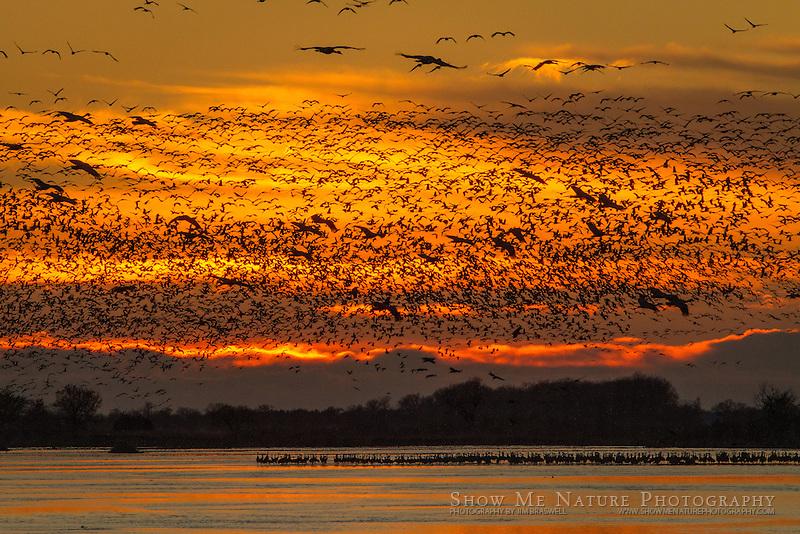 Sandhill Cranes arriving at the Platte River at sunset