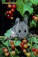 MU50-082z  Deer Mouse - immature young eating berries - Peromyscus maniculatus
